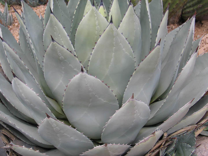 Agave_parryi_huachucensis