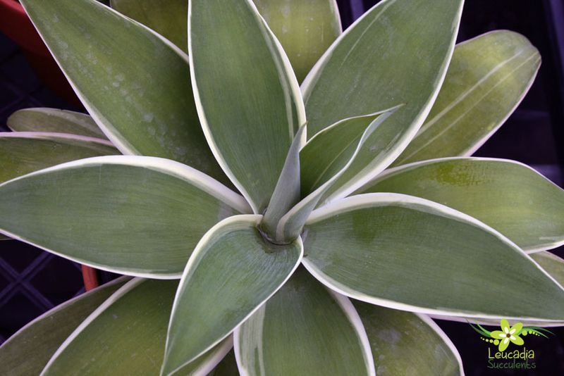 Agave-ray-of-light-3_1